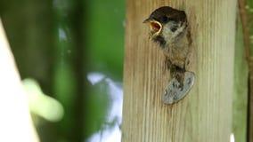 欧亚树麻雀喂养昆虫,荷兰 股票视频