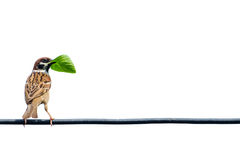 欧亚树麻雀,鸟,在导线 免版税库存图片