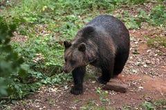 欧亚棕熊(熊属类arctos arctos) 免版税库存照片