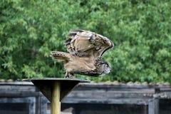 欧亚欧洲产之大雕,腹股沟淋巴肿块腹股沟淋巴肿块在德国自然公园 图库摄影