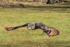 欧亚欧洲产之大雕,腹股沟淋巴肿块腹股沟淋巴肿块在德国自然公园 免版税图库摄影