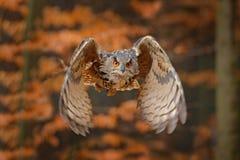 欧亚欧洲产之大雕,腹股沟淋巴肿块腹股沟淋巴肿块,有在飞行中开放翼的,森林栖所在背景,橙色秋天树中 r 库存照片