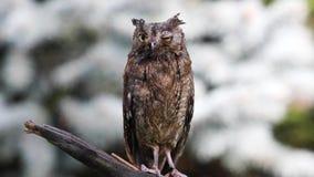 欧亚欧洲红角鹗在自然森林栖所 股票视频