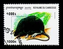 欧亚水泼妇Neomys fodiens,柬埔寨serie哺乳动物,大约1999年 库存照片