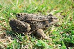 欧亚沼泽青蛙 库存照片