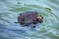 欧亚海狸铸工纤维啮齿目动物,吃 库存图片