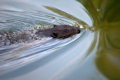 欧亚海狸铸工纤维啮齿目动物 免版税图库摄影