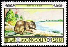 欧亚海狸铸工纤维,在蒙古野生生物储备serie的被保护的动物区系,大约1974年 图库摄影