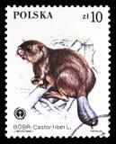 欧亚海狸(铸工纤维),动物保护了serie,大约1984年 库存图片