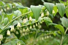 欧亚混血人所罗门` s封印玉竹multiflorum L 与花的分支 免版税库存图片