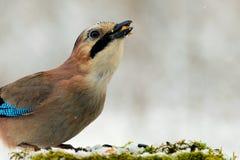 欧亚混血人杰伊在冬天鸟饲养者的Garrulus glandarius 关闭 库存照片