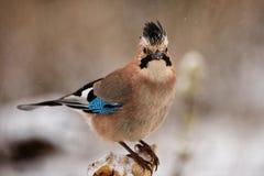 欧亚混血人杰伊在冬天鸟饲养者的Garrulus glandarius 免版税图库摄影