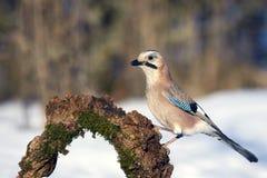 欧亚混血人杰伊在冬天鸟饲养者的Garrulus glandarius 免版税库存照片