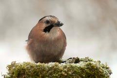 欧亚混血人杰伊在冬天鸟饲养者的Garrulus glandarius 库存照片