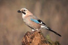 欧亚混血人杰伊在冬天鸟饲养者的Garrulus glandarius 库存图片