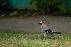 欧亚混血人杰伊或Garrulus glandarius鸟 库存图片