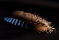 欧亚混血人杰伊鸟美丽的羽毛  库存照片