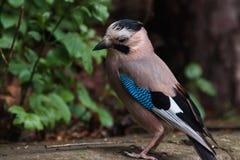 欧亚混血人杰伊 Garrulus glandarius 与蓝色翼的一只灰色棕色鸟在绿叶中的公园坐 哀伤的鸟 免版税库存图片