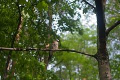 欧亚混血人杰伊 Garrulus glandarius 与蓝色翼的一只灰色棕色鸟坐分支反对绿色森林关闭背景  图库摄影