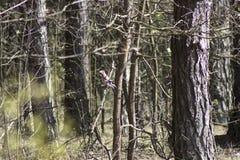 欧亚混血人杰伊Garrulus glandarius坐一个树枝在森林里 免版税库存图片