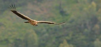 欧亚混血人Griffon欺骗在飞行中被夺取的fulvus 在橄榄树种植园上的雕飞行在西班牙 免版税库存图片