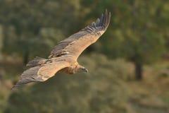 欧亚混血人Griffon欺骗在飞行中被夺取的fulvus 在橄榄树种植园上的雕飞行在西班牙 免版税图库摄影