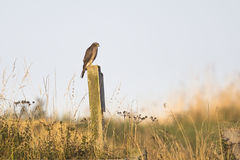 欧亚混血人Sparrowhawk 免版税库存图片