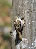 欧亚混血人Treecreeper (Certhia familiaris) 免版税图库摄影