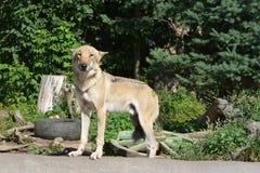 欧亚狼在动物园里 免版税库存图片