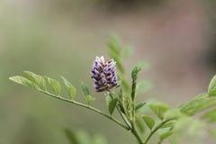 欧亚甘草灌木甘草glabra的花 库存图片