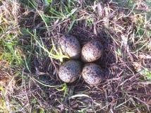 欧亚田凫类巢用鸡蛋 免版税库存图片