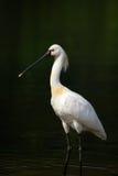 欧亚篦鹭或白琵鹭 库存图片