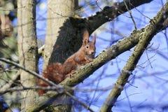 欧亚红松鼠中型松鼠寻常在树 免版税库存图片