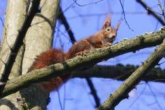 欧亚红松鼠中型松鼠寻常在树 库存照片