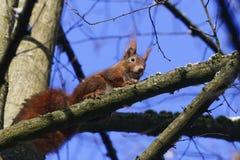 欧亚红松鼠中型松鼠寻常在树 库存图片
