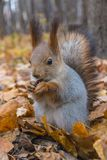 欧亚红松鼠 免版税库存图片