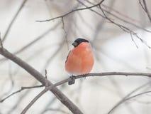 欧亚红腹灰雀, Pyrrhula pyrrhula,在分支的特写镜头画象红色男性有bokeh背景 库存图片