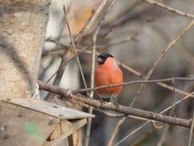 欧亚红腹灰雀, Pyrrhula pyrrhula,在分支的特写镜头画象红色男性有bokeh背景 库存照片