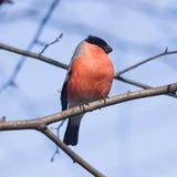 欧亚红腹灰雀, Pyrrhula pyrrhula,在分支的特写镜头画象红色男性有bokeh背景 免版税库存照片