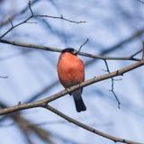 欧亚红腹灰雀, Pyrrhula pyrrhula,在分支的特写镜头画象红色男性有bokeh背景 免版税库存图片