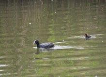欧亚老傻瓜骨顶属atra,亦称共同的老傻瓜与游泳在绿色池塘中水的一只新出生的小鸡  免版税库存照片