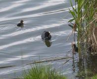欧亚老傻瓜骨顶属atra,亦称共同的老傻瓜与游泳在绿色池塘中水的新出生的小鸡与 库存照片