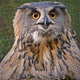 欧亚老鹰猫头鹰是一只非常大鸟 库存图片