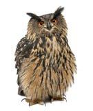 欧亚老鹰猫头鹰,腹股沟淋巴肿块腹股沟淋巴肿块, 15岁 免版税库存图片