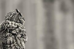 欧亚老鹰猫头鹰-腹股沟淋巴肿块bub 免版税库存图片