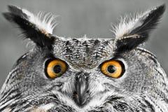 欧亚老鹰猫头鹰 免版税库存照片