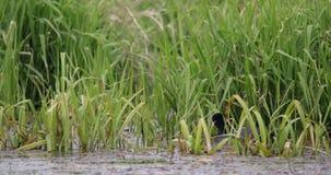 欧亚老傻瓜在绿色芦苇的小池塘 影视素材