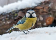 欧亚蓝冠山雀站立与在雪的恼怒的面孔画象 图库摄影