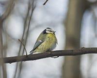 欧亚蓝冠山雀, Cyanistes caeruleus,坐在分支,特写镜头画象,选择聚焦,浅DOF 库存图片