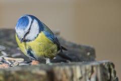 欧亚蓝冠山雀(Cyanistes caeruleus或帕鲁斯caeruleus) 库存照片